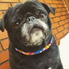 18 Photos That Prove Senior Pugs Are Still Sweet, Wholesome Babies #pug
