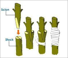 Rose Tree   grafting process type of artificial vegetative propagation