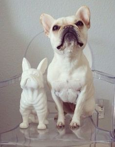 """Simply by comparison, I'm the best!"" #dogs #pets #FrenchBulldogs Facebook.com/sodoggonefunny"