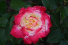 Blond, Rose, Flowers, Plants, Historia, Pink, Florals, Roses, Planters