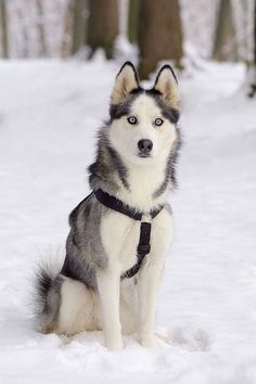 Gorgeous Siberian Husky in snow... click on picture to see more