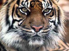 Los Nomadas - El Tigre
