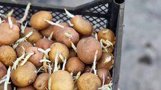 Sadenie zemiakov: Správny postup ovplyvní kvalitu a množstvo úrody | TVnoviny.sk Stuffed Mushrooms, Potatoes, Vegetables, Food, Stuff Mushrooms, Potato, Essen, Vegetable Recipes, Meals