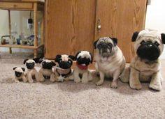 perros pugs con peluches