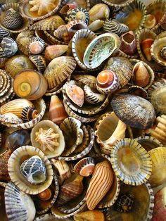 Ahhhh, so many shells, so few beach days!