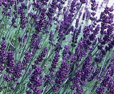 The fragrant flowers of 'Hidcote' lavender (Lavandula angustifolia 'Hidcote') appear in early summer and will bring butterflies to your garden space. One of the cold hardiest of the English lavenders, 'Hidcote' doesn't do well with the high humidity of the Southeast. This perennial can grow to a height of 20 inches and works well in cut-flower and dried-flower arrangements.