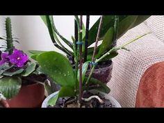 Orkide çoğaltma 2 - Çiçek sapından üretme, klonlama. Orchid propagation by Cloning, produce Keiki - YouTube