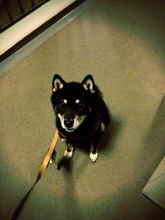 Jack #Shiba dog