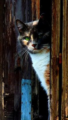 Pretty Cats, Beautiful Cats, Animals Beautiful, Cute Animals, Cool Cats, I Love Cats, Crazy Cat Lady, Crazy Cats, Gato Calico