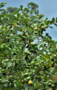 Banana Plants, Fruit Plants, Edible Plants, Tropical Plants, Fruit Trees, Guava Plant, Guava Fruit, Pink Guava, Backyard Plants
