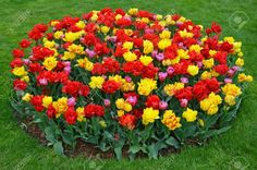Images Multicolor Tulips Flowers Many Beautiful Flowers Pictures, Beautiful Flowers Garden, Beautiful Gardens, Palm Trees Landscaping, Front Yard Landscaping, Veg Garden, Lush Garden, Bulb Flowers, Tulips Flowers