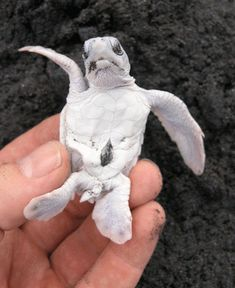 albino baby sea turtle <3