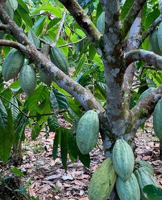Where does the cacao tree originate from? How long have people been making beverages with the cacao beans? Did humans use cacao for anything else? Why did they make a chocolate drink instead of making chocolate? Making Chocolate, How To Make Chocolate, Wonderful Places, Great Places, Cacao Fruit, Cacao Benefits, Cacao Beans, What Activities, Ancient Artifacts
