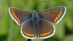 Rare brown argus butterflies expanding range due to warmer summer temperatures in UK