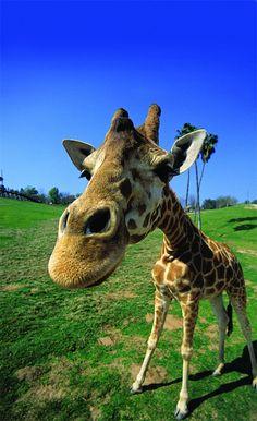 Wow! Great angle on Giraffe at the Safari Park! <3 http://sdzsafaripark.org