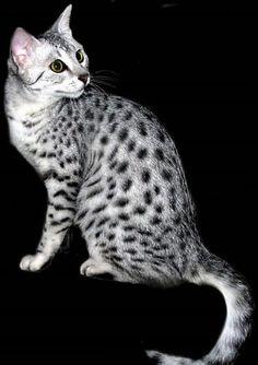 Egyptian Mau. My exotic kitty.