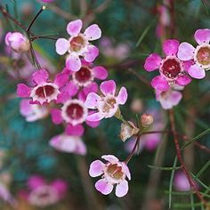 The Geraldton Wax Flower is Chamelaucium uncinatum, long flowering with large waxy flowers from spring through summer. Available for sale at most nurseries. Wax Flowers, Exotic Flowers, Pretty Flowers, Autumn Flowers, Australian Native Flowers, Australian Plants, Flower Nursery, Natural Garden, Flower Market