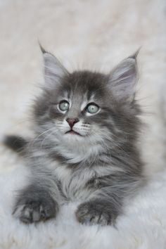 Interested in owning a Maine Coon cat and want to know more about them? We've made this site to tell you all you need to know about Maine Coon Cats as pets Kittens Cutest Baby, Cute Cats And Kittens, Beautiful Cats, Animals Beautiful, Maine Coon Kittens, Cat Breeds, Cute Baby Animals, Crazy Cats, Dog Cat