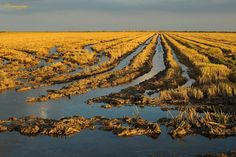 Arrossars al Delta de l'Ebre Delta Del Ebro, Spain, Outdoor, Agriculture, Rice, Places To Visit, Life, Pictures, Outdoors