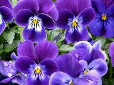 Purple Pansies (by susangleason)