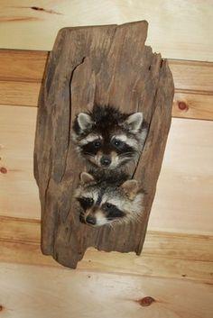 2 Cute Raccoon Head Mount Taxidermy in Log Dog Hunting Animal Deer Fox Skunk | eBay