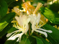 The Best Types of Honeysuckle Vines and How To Grow It In The Garden