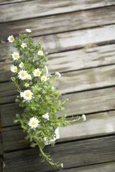 Lupus, Headaches & Feverfew