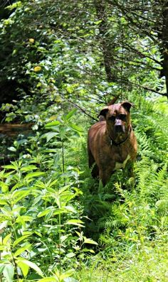 Easy Natural Tick Repellent that really works! For dogs and people. Drop of rose geranium essential oil between shoulder blades and above tail Rose Geranium Oil, Rose Geranium Essential Oil, Essential Oils, Flea Powder For Dogs, Natural Tick Repellent, Me And My Dog, Oils For Dogs, Ticks