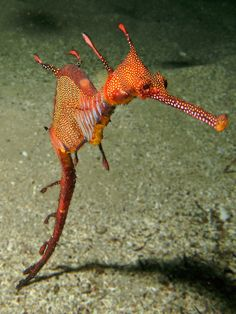 These marine fish are called sea dragons, they are related to the seahorse and they are really cute. There are two types of the sea dragon: the leafy and the weedy sea dragons. Underwater Creatures, Underwater Life, Ocean Creatures, Underwater Images, Weedy Sea Dragon, Beautiful Sea Creatures, Life Under The Sea, Water Animals, Deep Sea Animals