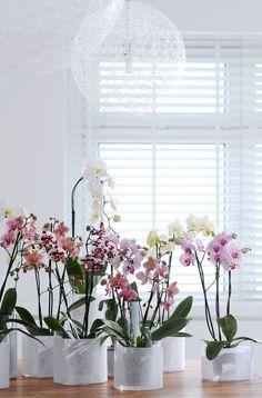 De bloemen zijn net vlinders en verklaren direct zijn naam; vanuit het Grieks vertaald betekent Phalaenopsis namelijk 'nachtvlinder gelijkend'.
