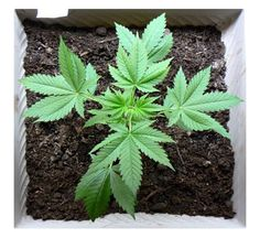 How to Cultivate a Marijuana Cup Winner? | Store My Cannabis
