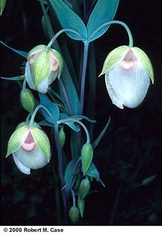 "The local ""fairy lantern"" or globe lily is the white flowered Calochortus albus. This delicate flower is found in the coast ranges and the Sierran foothills. In some areas the flowers have a pinkish tinge. Find this plant abundant in mid spring in the Monterey Peninsula."