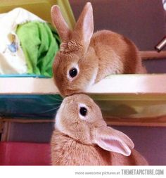 Cute Hunny Bunny Kiss - You are viewing Photo titled Cute Hunny Bunny Kiss – Incredibly Cute Cuddly Furry Rabbits Kissing. from the Category Amazing Pictures Tags: Animals Kissing Perfect Clicks Cute Animals Kissing, Cute Baby Animals, Funny Animals, Kids Animals, Cutest Animals, Hamsters, Baby Bunnies, Cute Bunny, Bunny Rabbits