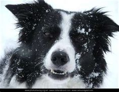 Border Collie  (past)