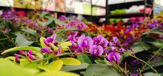 Lief, deze paarse bloemetjes van de Hardenbergia!  Kijk voor Planten-tips bovenaan onze www.facebook.com/IntratuinCruquius!