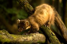 The European Pine martens are elusive members of the weasel family,& sport a creamy yellow throat bib.Clearance of woodlands,fur trapping & persecution by 19th c. gamekeepers devastated the pine marten across Britain & other countries.Since 1915,extinct from most of Britain w/ a last remaining UK stronghold in Scotland.They favor well wooded areas where they can nest in hollow trees/old burrows,eat small mammals & seasonally available fruits/berries.