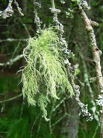 Usnea also works well as a salve. First powder the herb well. Infuse the usnea powder into oil using the hot method. Once the oil is made it can be prepared into a standard salve. For increased anti-microbial capabilities consider adding oregon grape root and/or red cedar needles to the mix.
