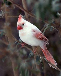 Albino Cardinal   Cutest Paw