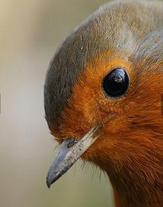 Wonderful close up of a Robin ❤