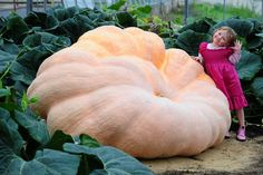 Millie Clifford, 3, stands next to the biggest pumpkin grown this year by the Paton brothers at Pine tops Nursery in Pennington, Hants. The pumpkin weighs over 1400 pounds