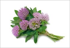Red clover has long been a staple in the herbal-healer's medical kit. While the leaves (usually steeped into a tea) are the most medicinal part of the plant, the sweet red flowers are edible; you can add them to salads or drinks as a garnish. Moon Time, Pregnancy Calendar, Menopause Symptoms, Natural Birth, Healing Herbs, Getting Pregnant, Red Flowers, Natural Health, Herbalism