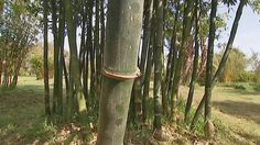 Gardening Australia - Fact Sheet: The Bamboo Man