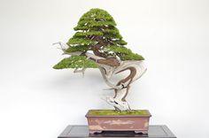 Juniper Bonsai tree, photo by Bjorn Bjorholm