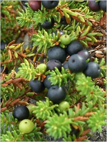 Fruit and Vegetable Database : Black Crowberries Nutrition, Storage, Selection, Preparation: Benefits to Health : Fruits And Veggies More Matters.org