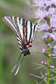 Zebra Swallowtail (Eurythides philolaus)