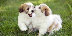 Coton De Tulear Puppy Picture