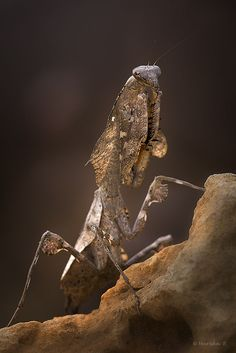 Dead Leaf Mantis by Mariska Boertjens on 500px