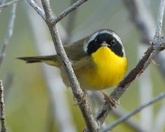 I think I saw one of these today! Common Yellowthroat