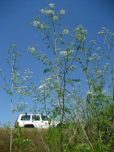 Poison-hemlock flowering - click for larger image