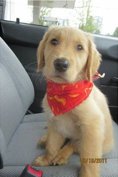 Exhibit K: This golden puppy mugging for the camera. I can find 0 flaws here. I Love Dogs, Puppy Love, Cute Dogs, Baby Puppies, Baby Dogs, Golden Puppy, Cute Dog Pictures, Pet Day, Cuddling